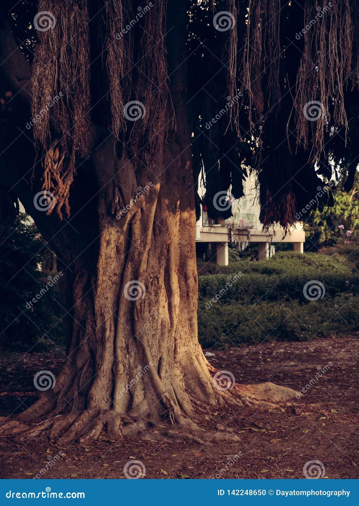 Grand arbre exotique avec les branches brunes en baisse et les grandes racines au-dessus de la terre en parc de ville avec un bât