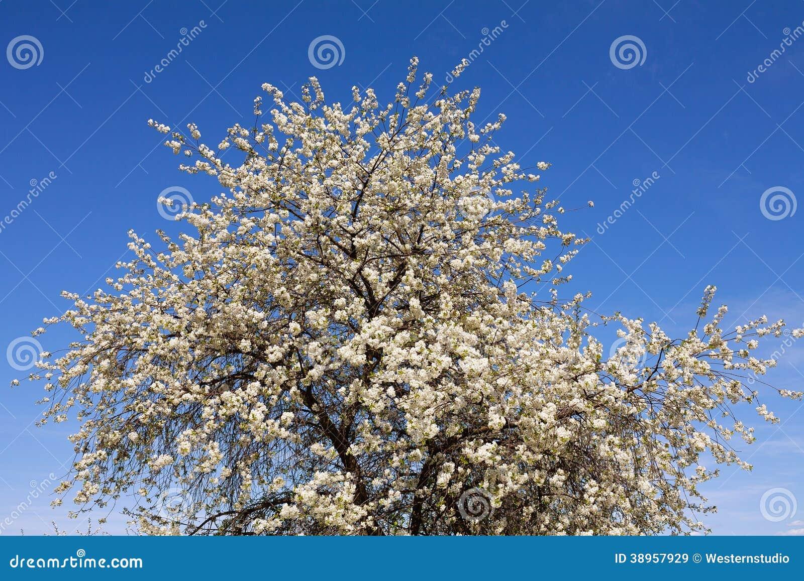Grand arbre fruitier fleurissant en fleurs blanches image for Arbre fruitier