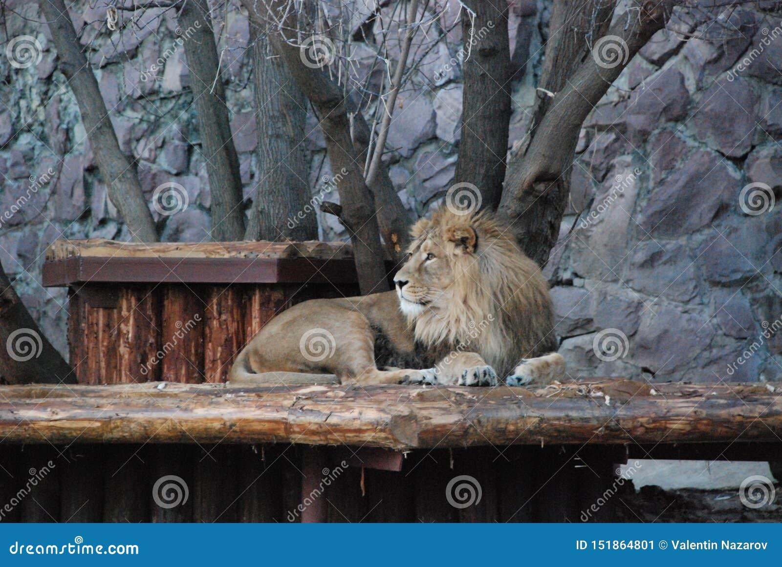 Grand beau lion dans le zoo de Moscou