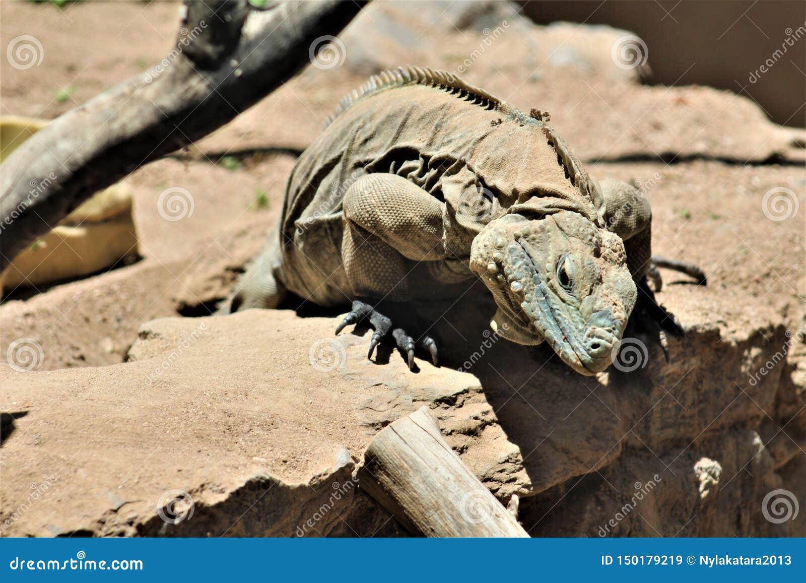 Grand Cayman Blue Iguana, Phoenix Zoo, Arizona Center for Nature Conservation, Phoenix, Arizona, United States