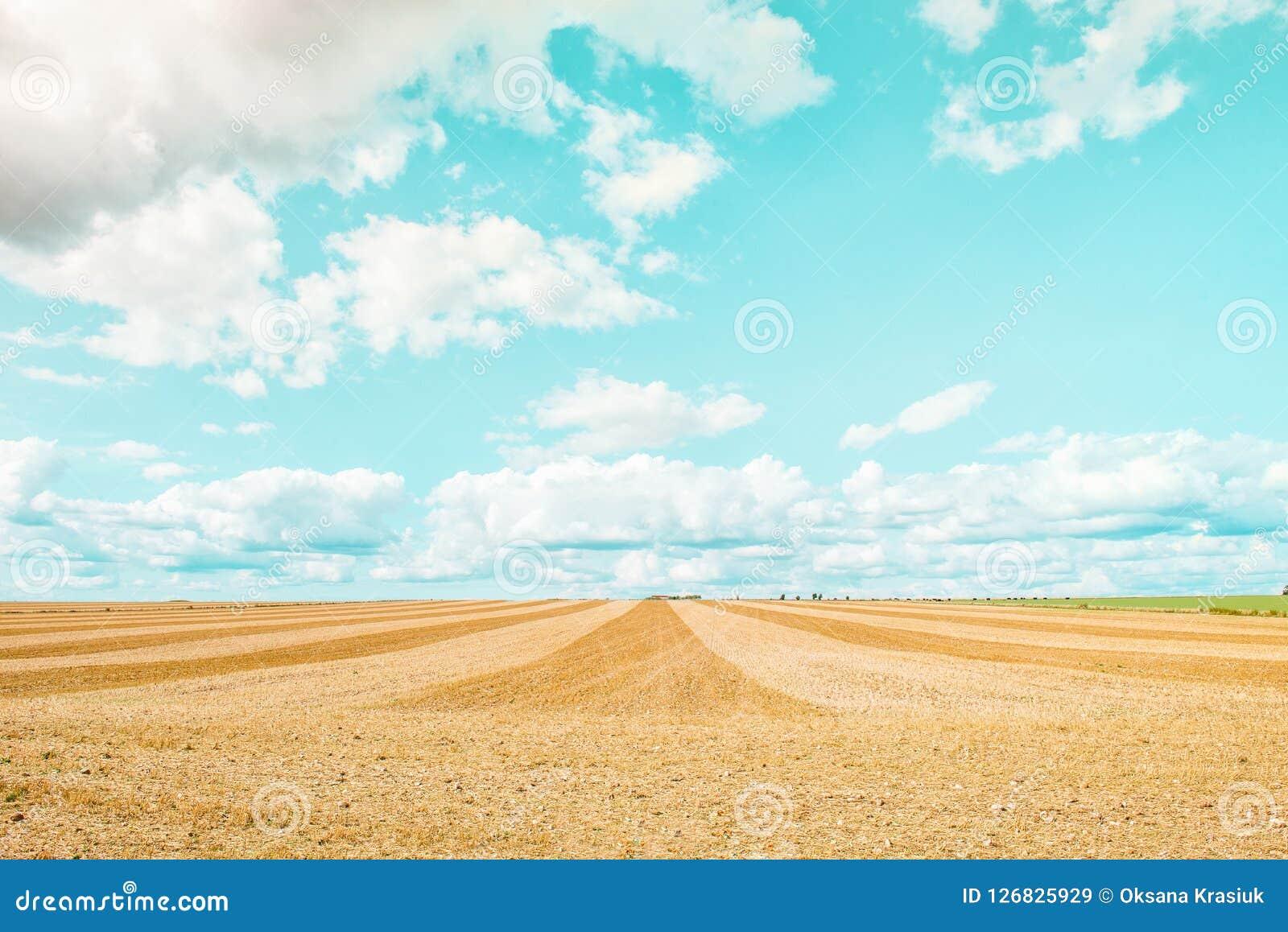Grand champ jaune après moisson Champs de blé fauchés sous le ciel bleu et les nuages au jour ensoleillé d été Lignes convergente