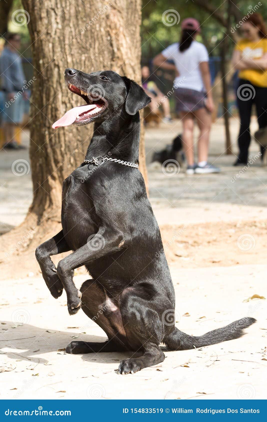 Grand chien noir se reposant attendant le propriétaire pour jeter la boule pour qu il cherche