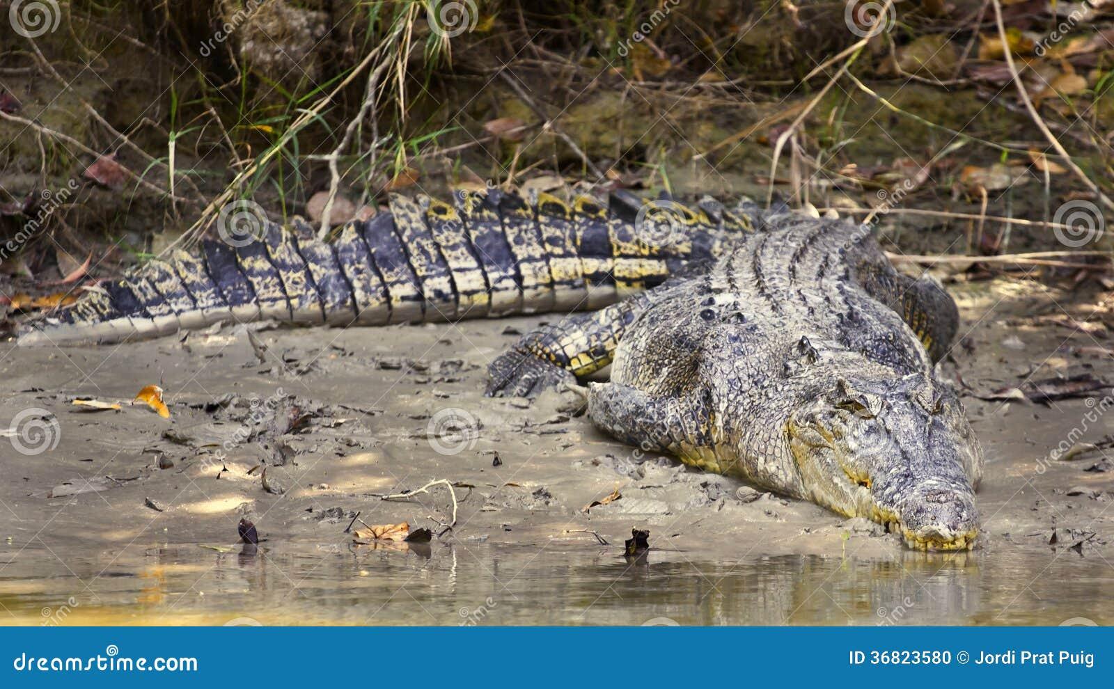 Grand crocodile d eau de mer