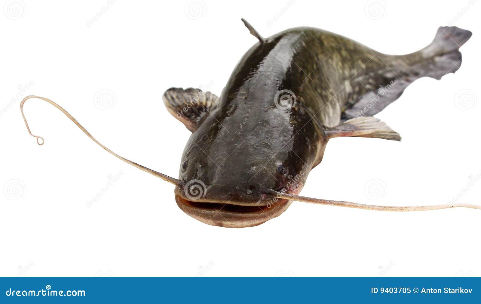 Grand fleuve de poisson-chat