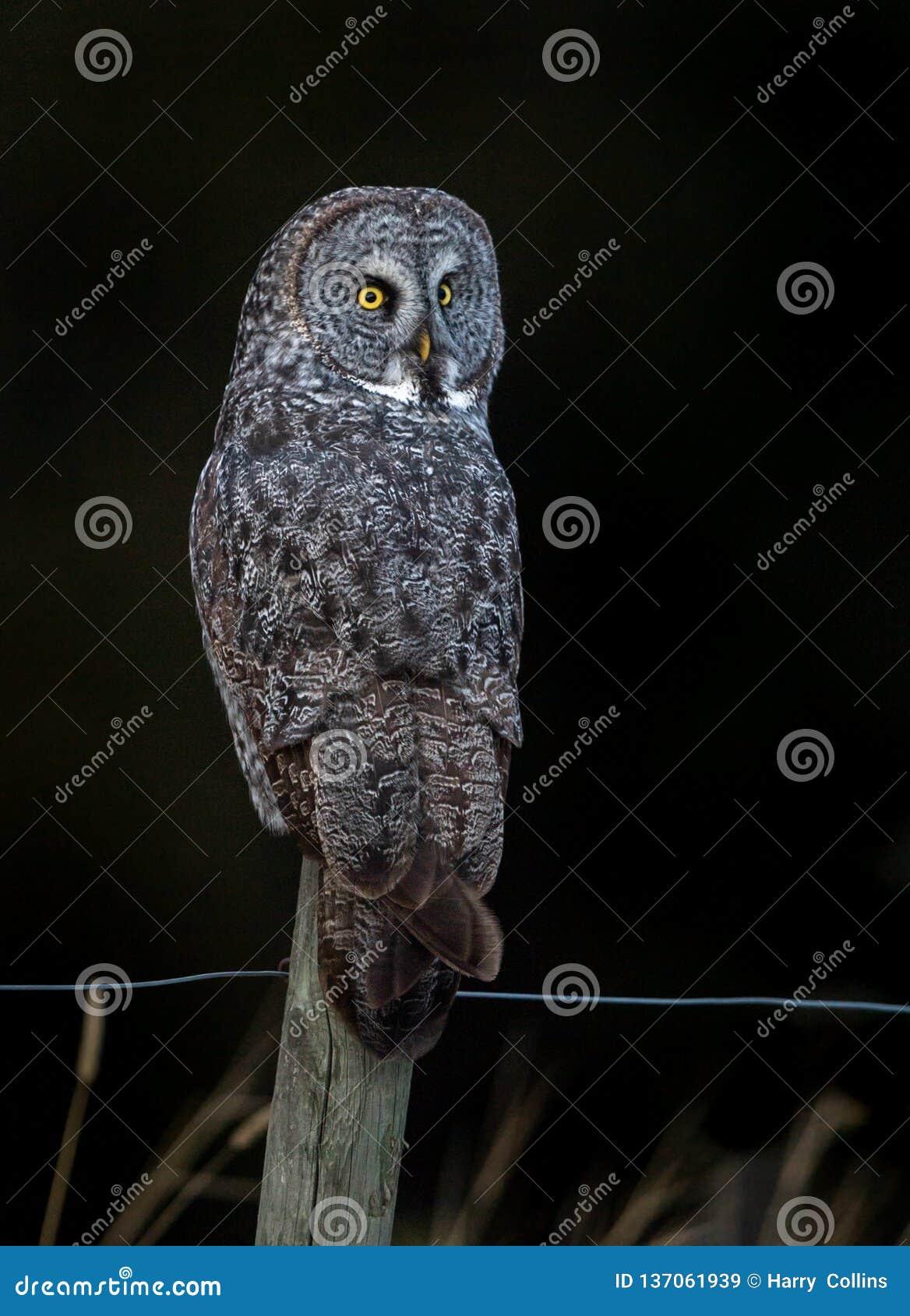 Grand Gray Owl dans le Canada