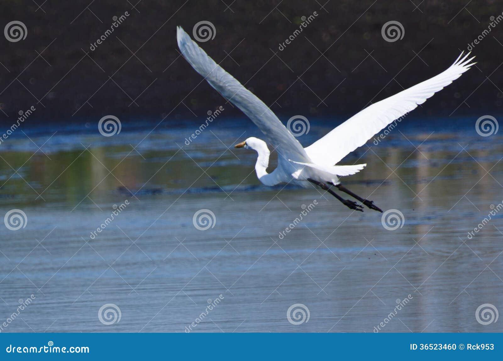Grand héron volant au-dessus du marais