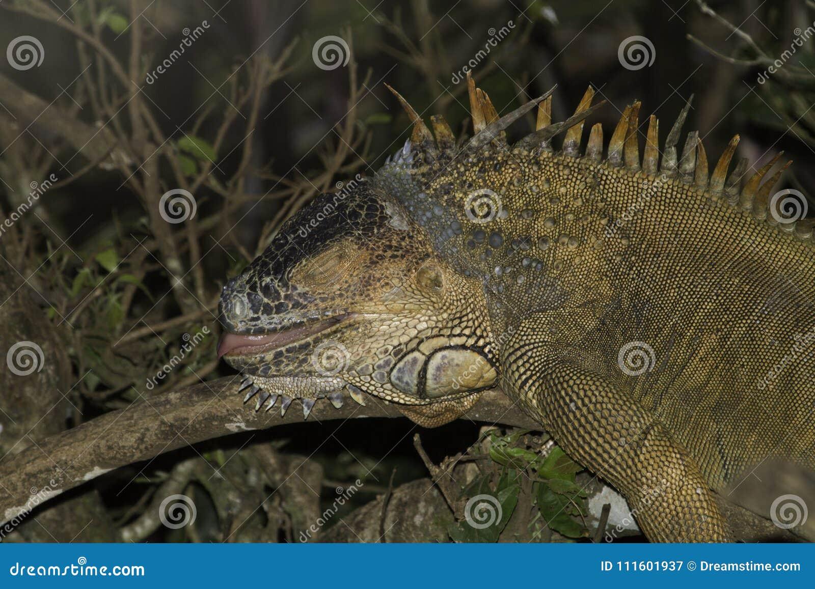 Grand iguane dormant dans l arbre dans Coasta Rica