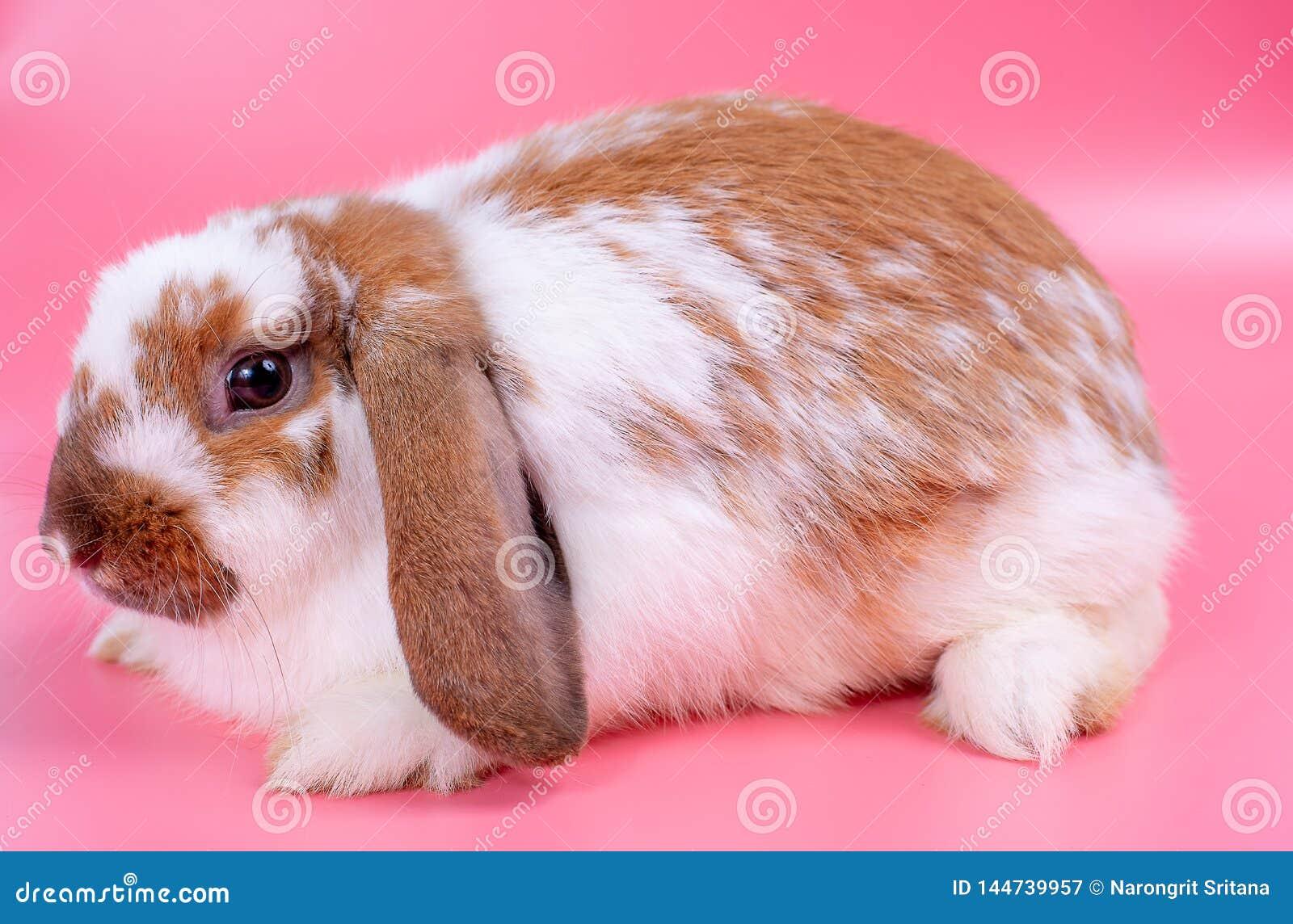 Grand lapin ou lapin multicolore avec de longues oreilles sur le point en bas du séjour de direction devant le fond rose