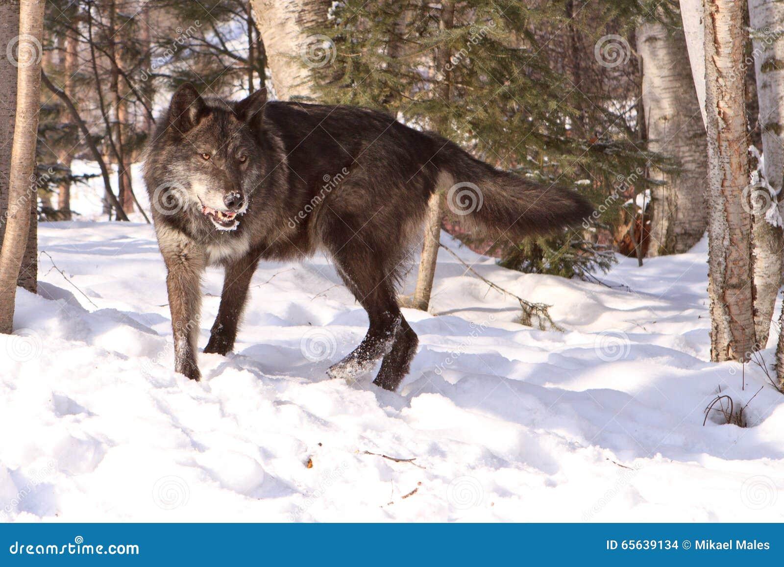 Grand loup de bois de construction noir dans la neige