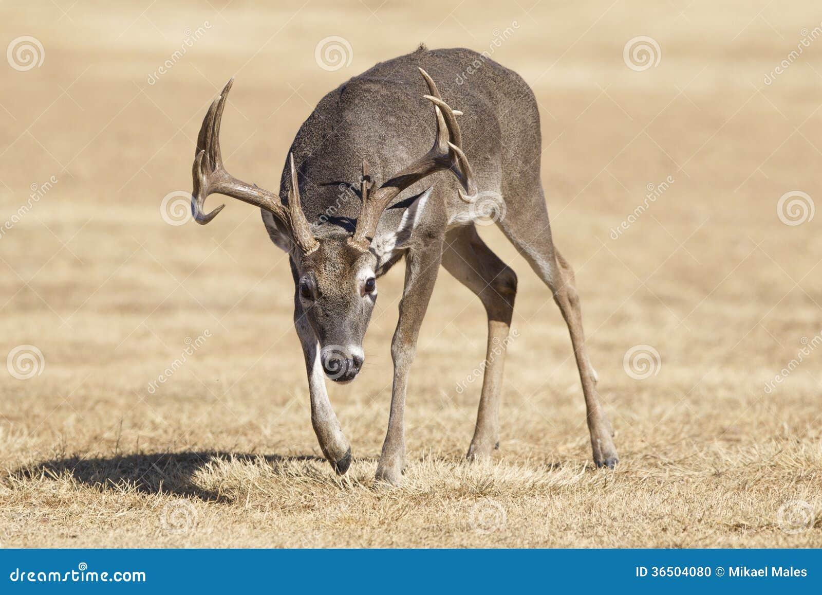 Grand mâle de Whitetail de diffusion dans l ornière