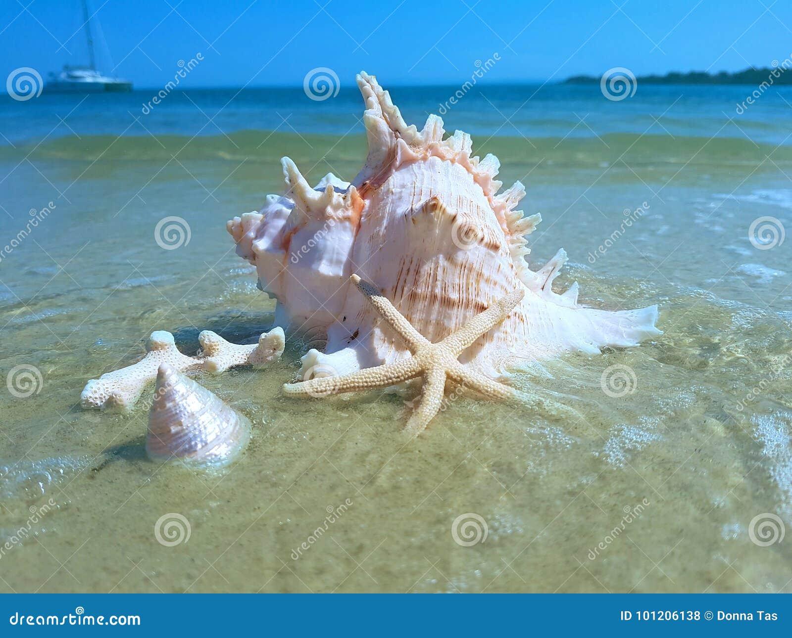 Grand Murex Shell sur la plage