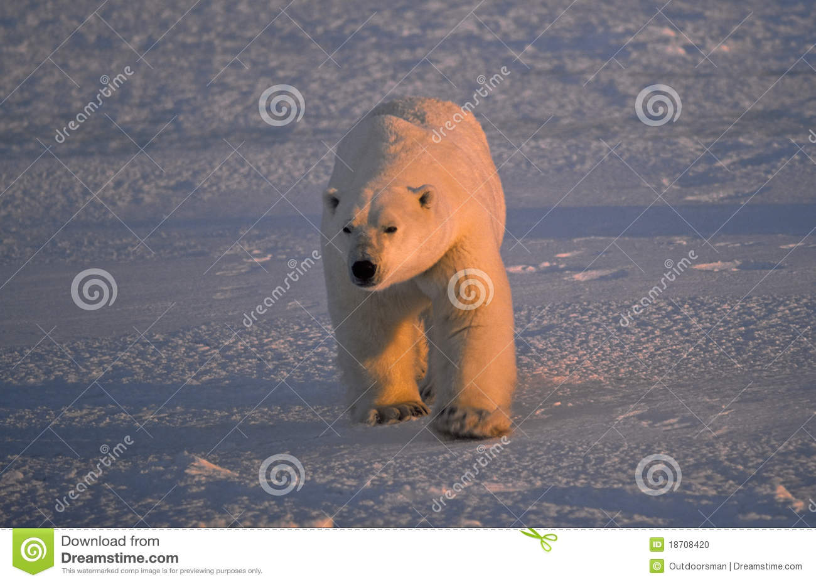 Grand ours blanc mâle
