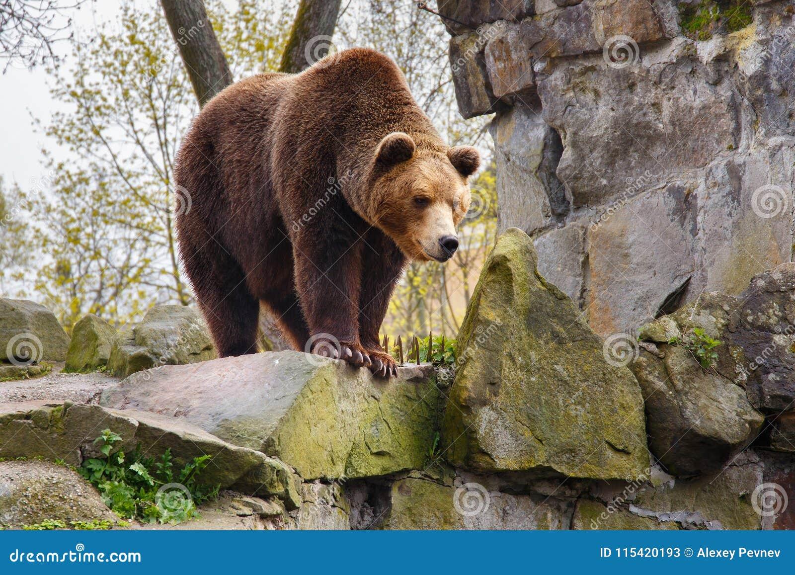 Grand ours brun dans un zoo