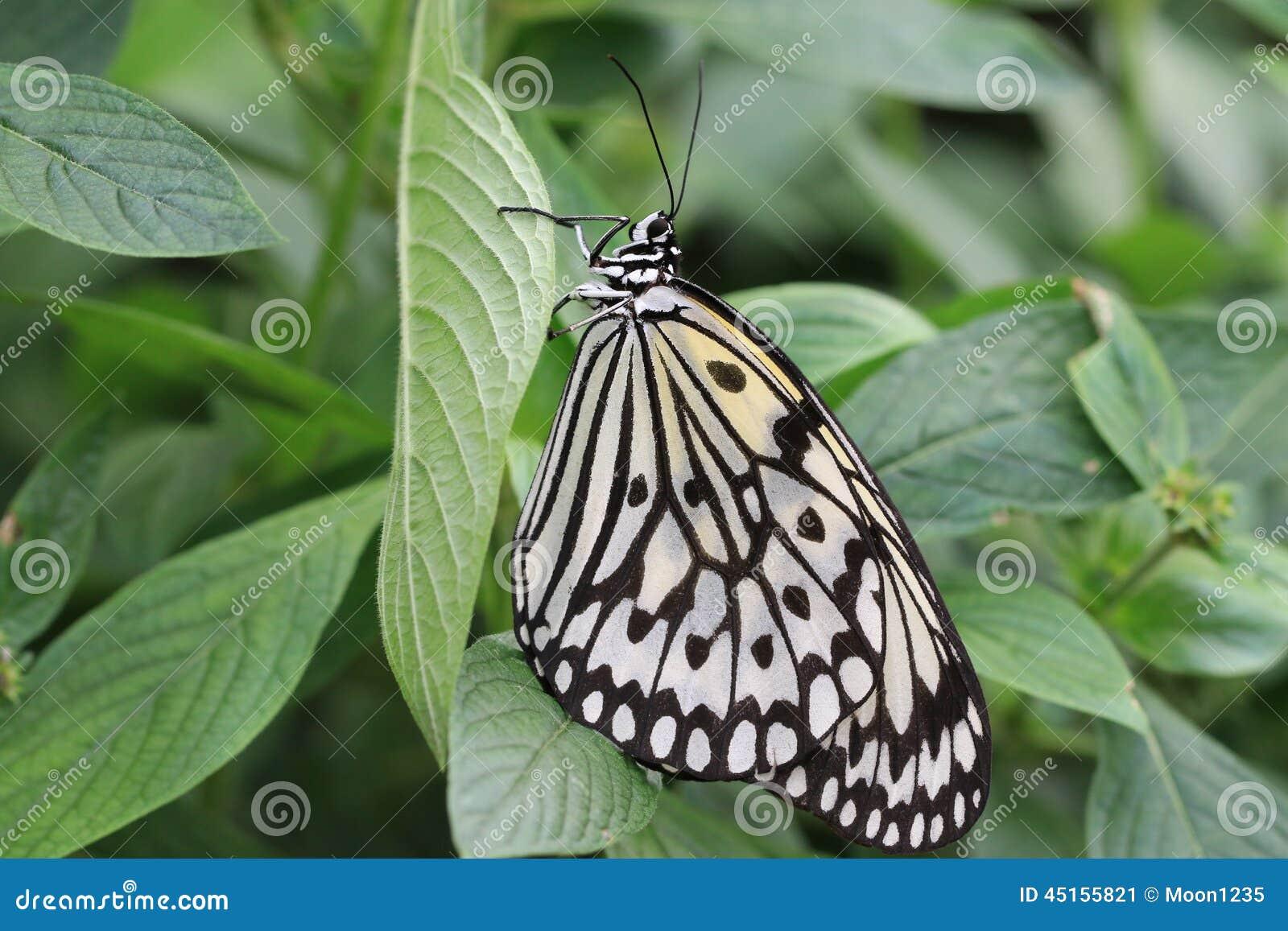grand papillon de nymphes d 39 arbre et feuille verte photo. Black Bedroom Furniture Sets. Home Design Ideas