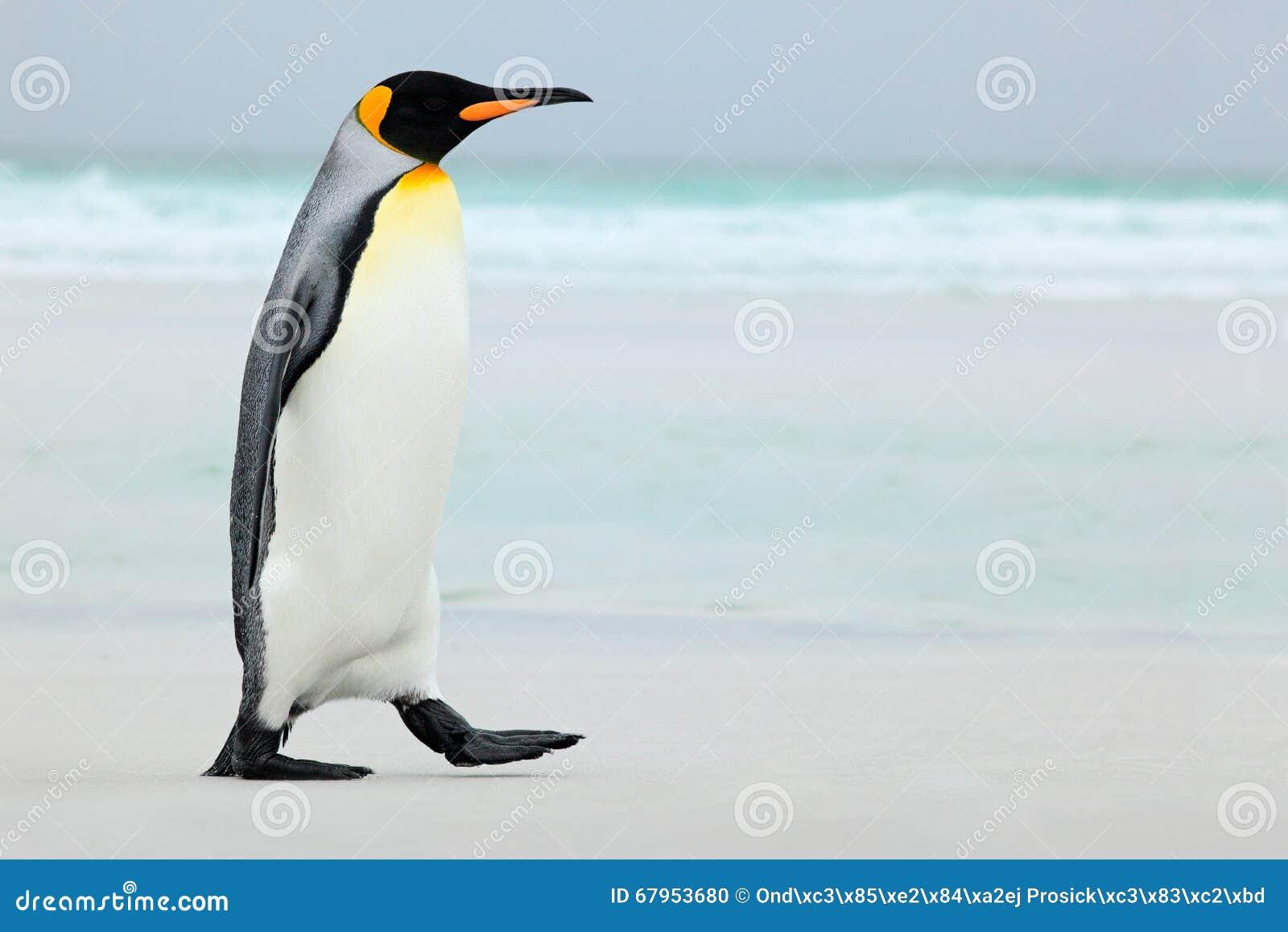 Grand pingouin de roi allant à l eau bleue, l Océan Atlantique en Falkland Island, oiseau de mer de côte dans l habitat de nature