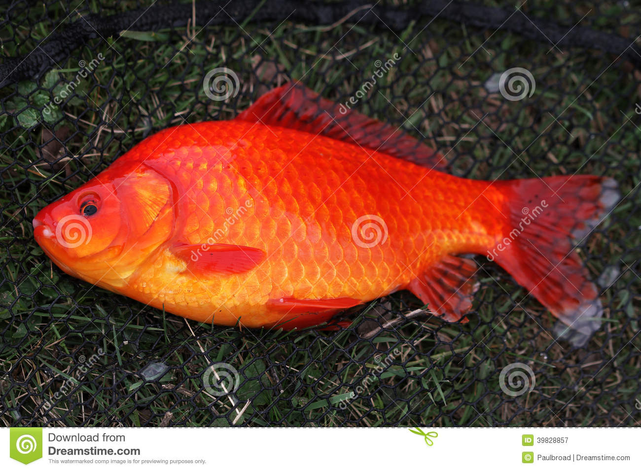 Grand poisson rouge photo stock image 39828857 for Prix poisson rouge jardiland