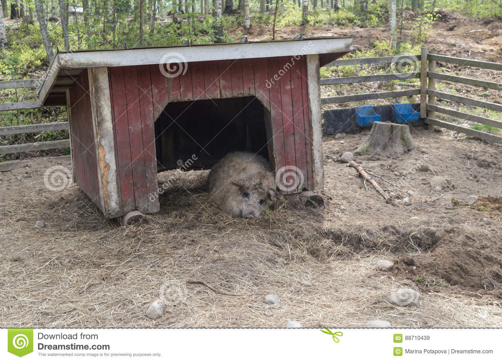 Grand porc adulte dans la porte d un abri gratuit de gamme dormant dans le zoo
