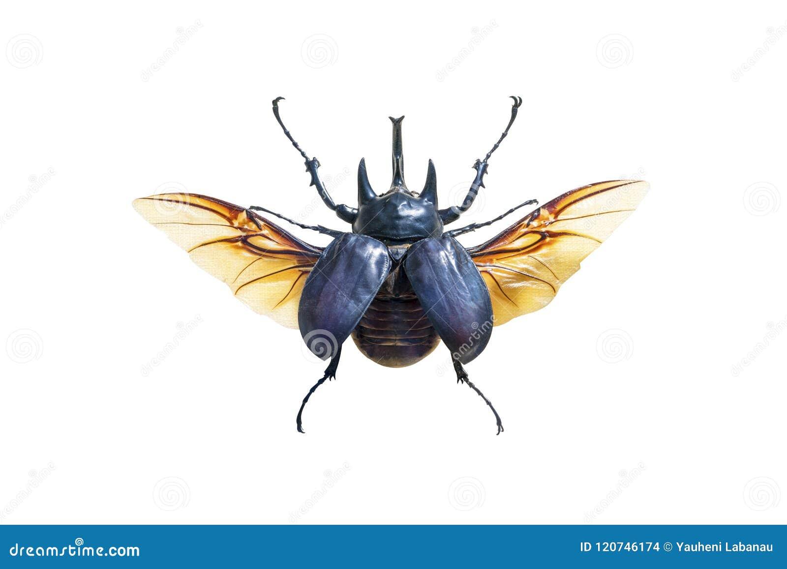 Grand scarabée exotique avec des ailes d isolement