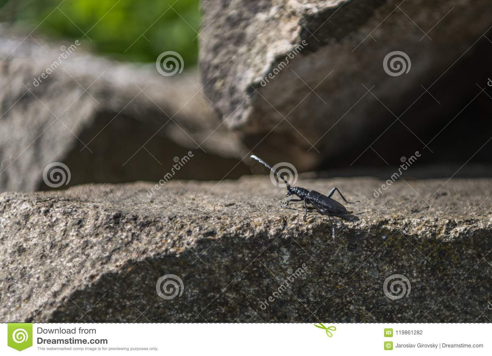 Grand scarabée noir de Capricorne