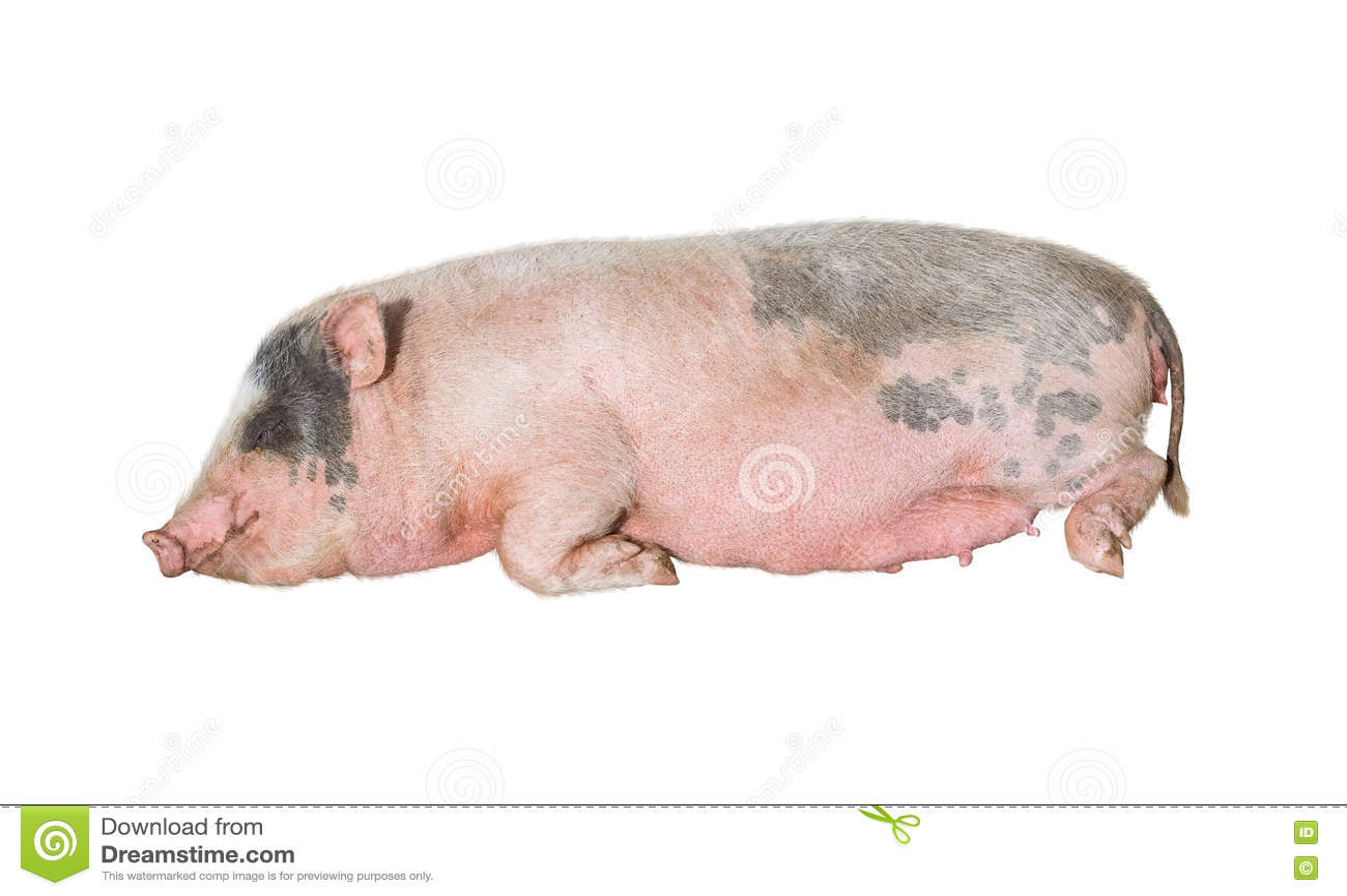 Grand sommeil rose de porc