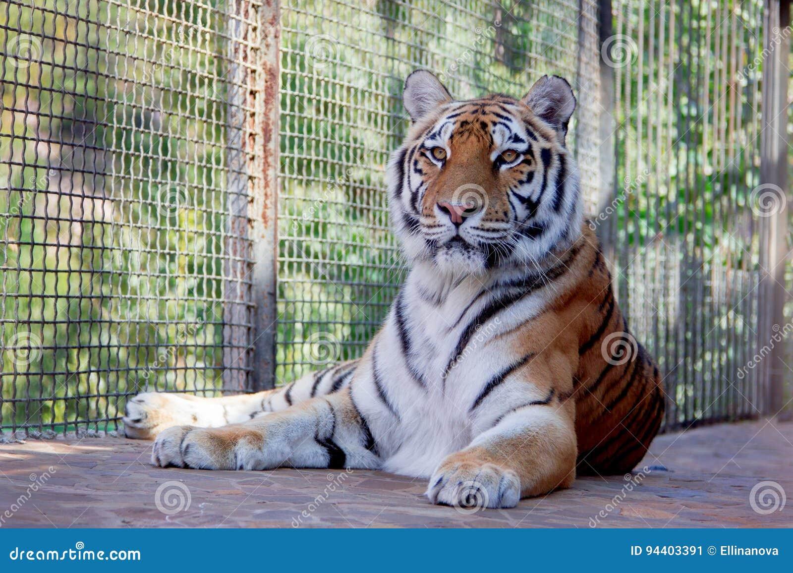 Grand tigre dans le zoo