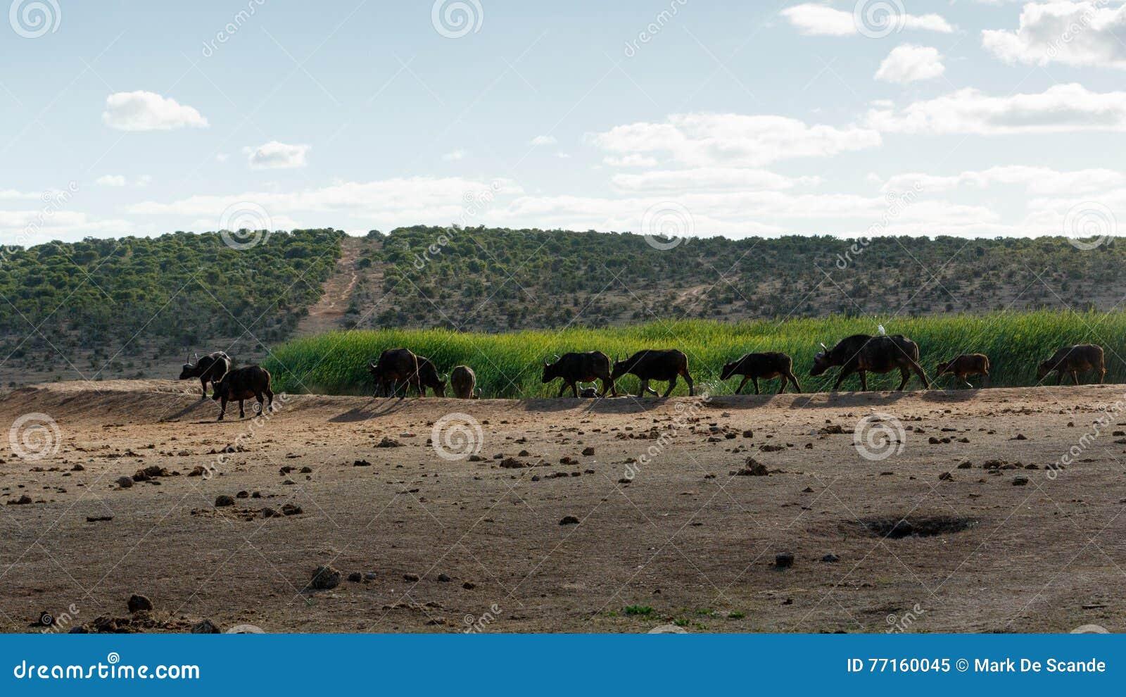 Grand troupeau de Buffalo africain