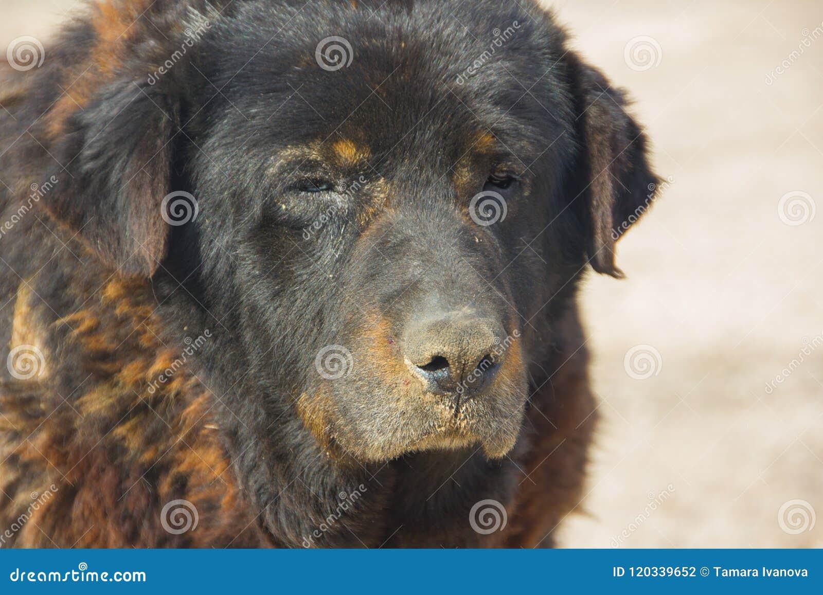 Grand, vieux plan rapproché de chien Très un vieux, sans abri,