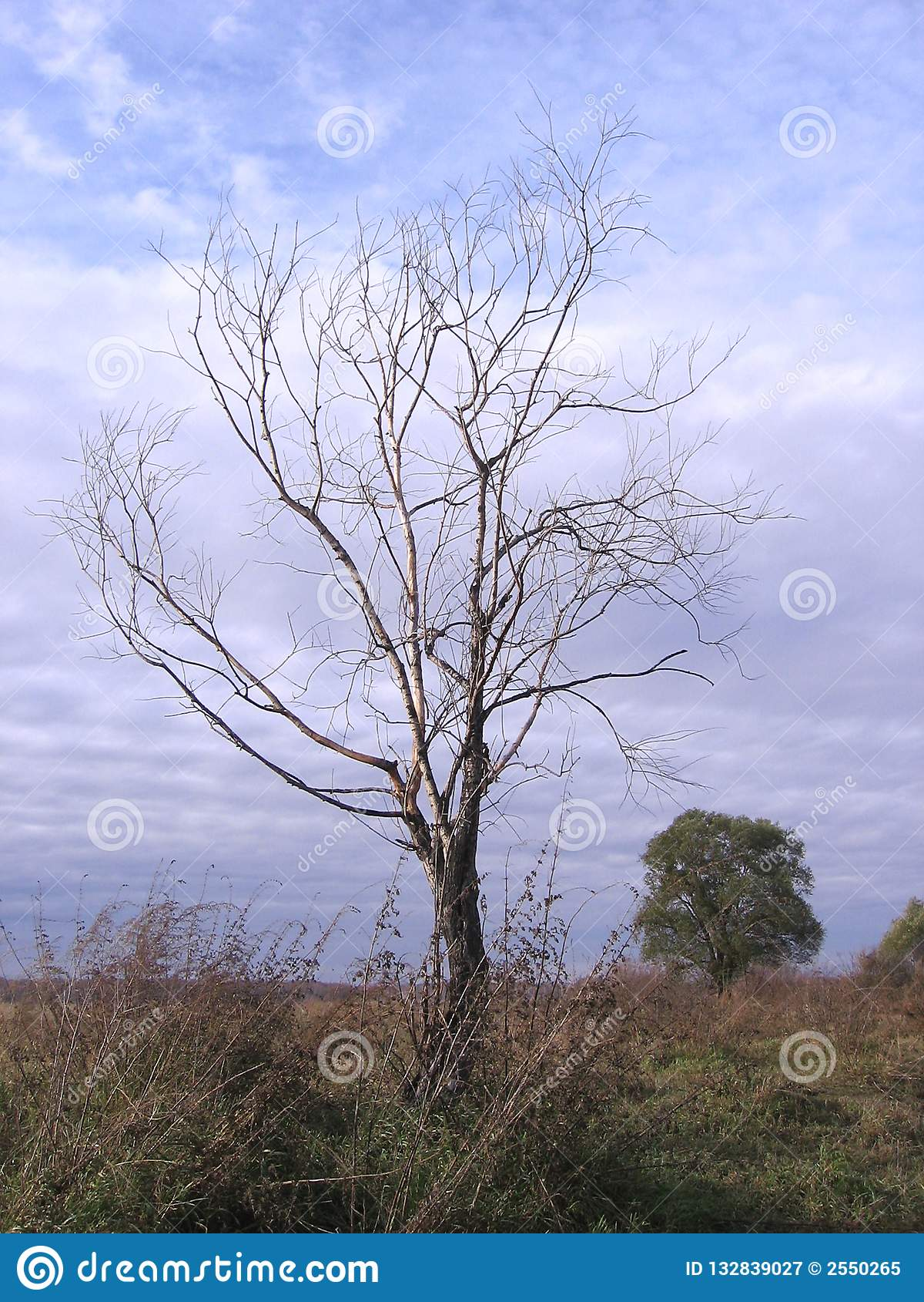 Grande árvore de espalhamento entre mortos secos