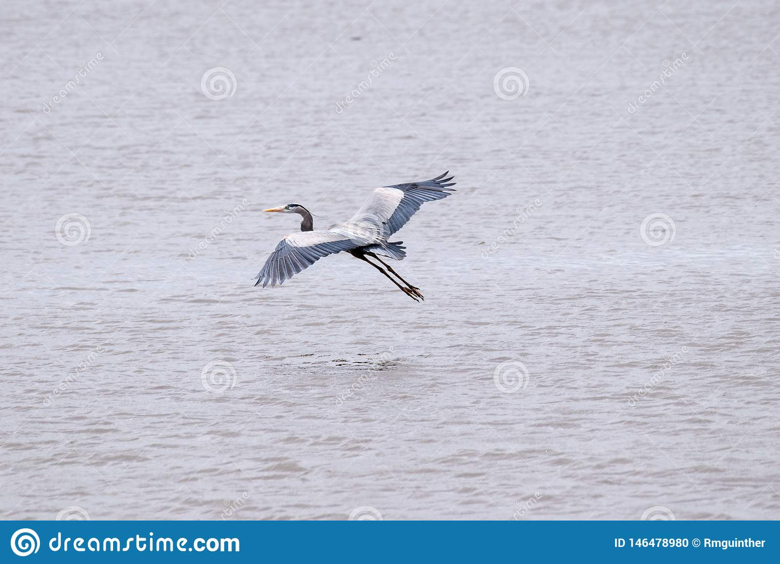 Grande airone blu decollato in volo da un lago