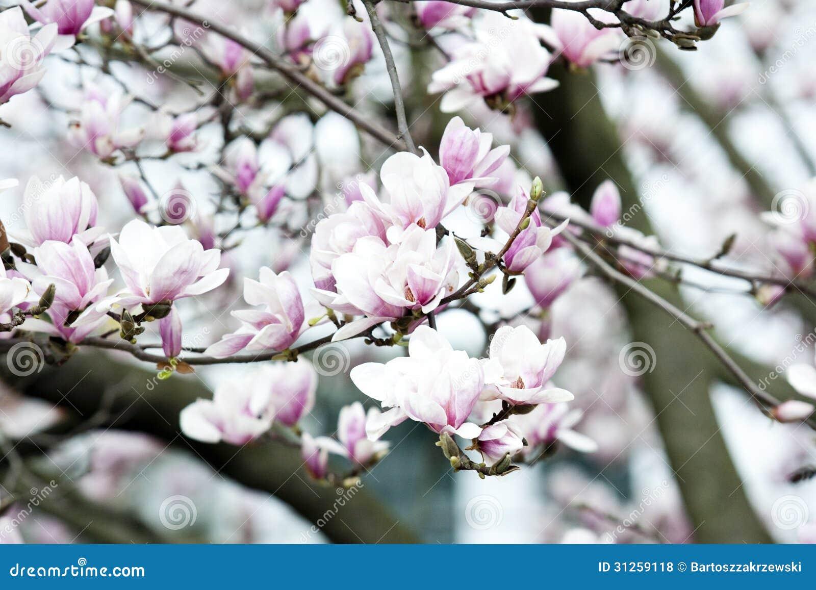 Grande albero della magnolia con i fiori fotografia stock for Magnolia pianta prezzi