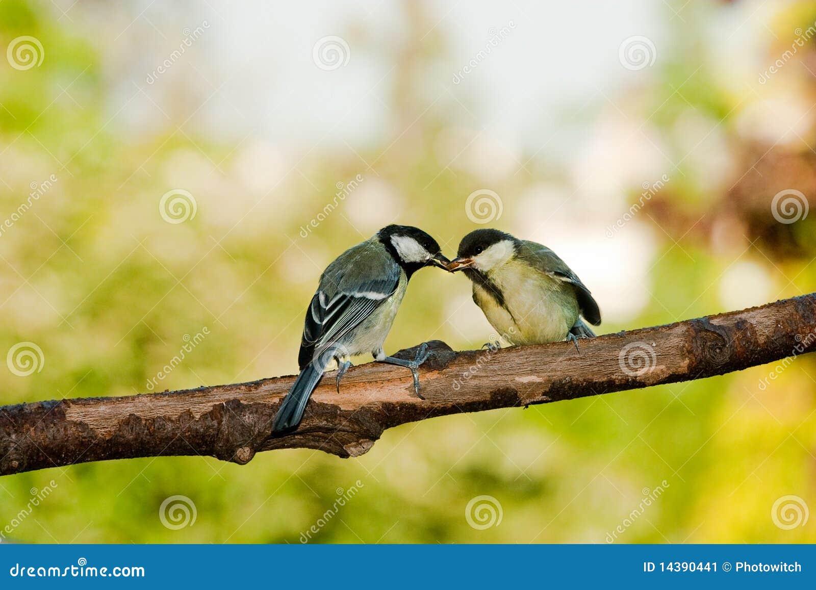 Grande alimentazione degli uccelli del tit