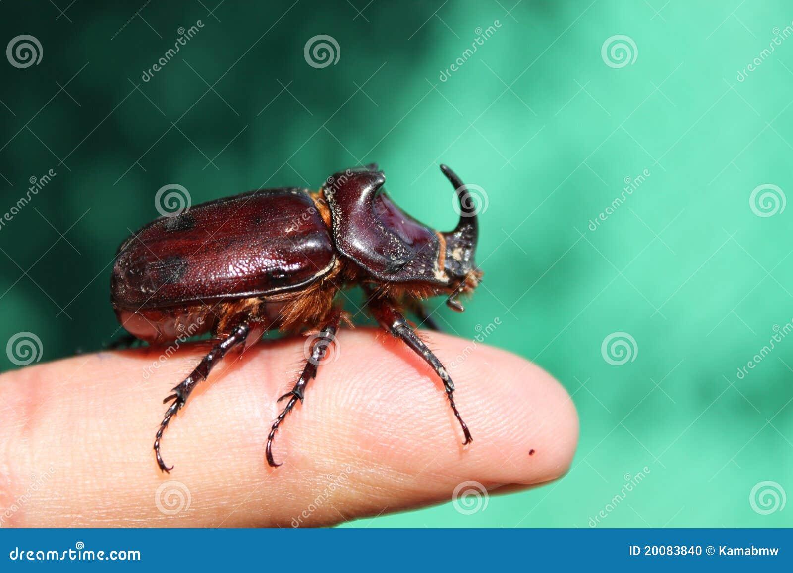 Grande anomalie à cornes sur le doigt de menâs