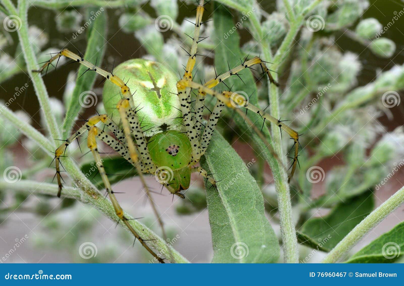 Grande aranha verde do lince