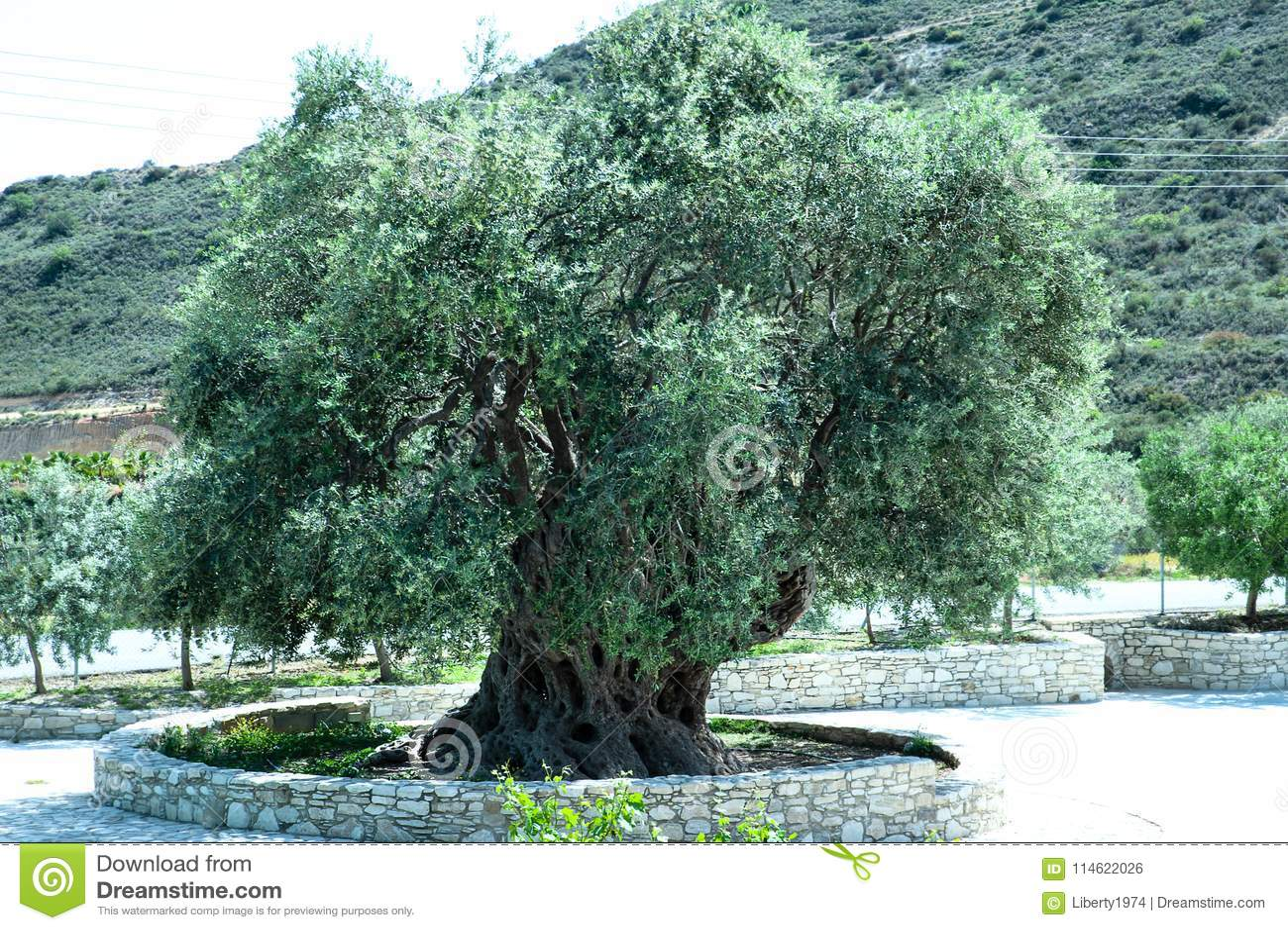 A grande azeitona verde