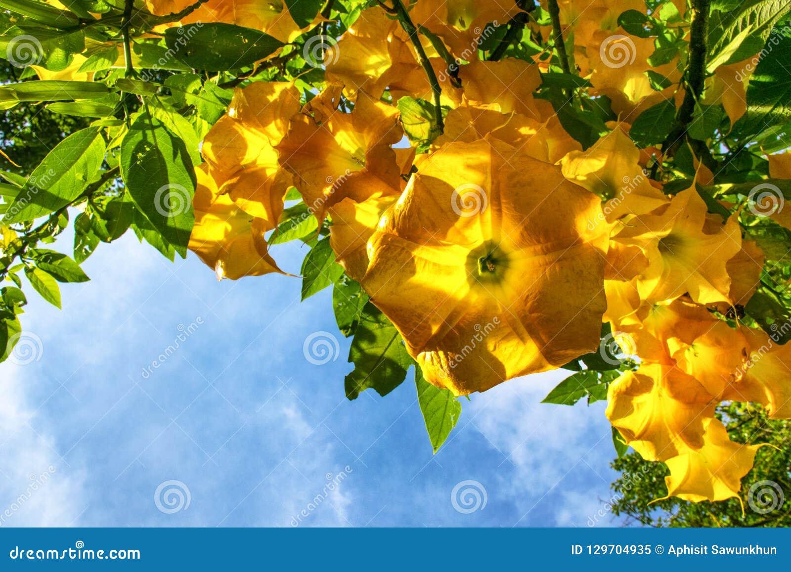 Grande Brugmansia giallo