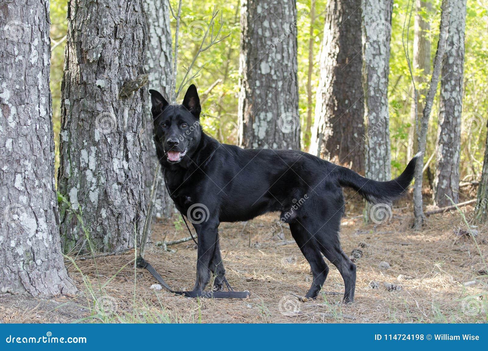 Grande cão preto da raça da mistura do pastor alemão, salvamento do animal de estimação