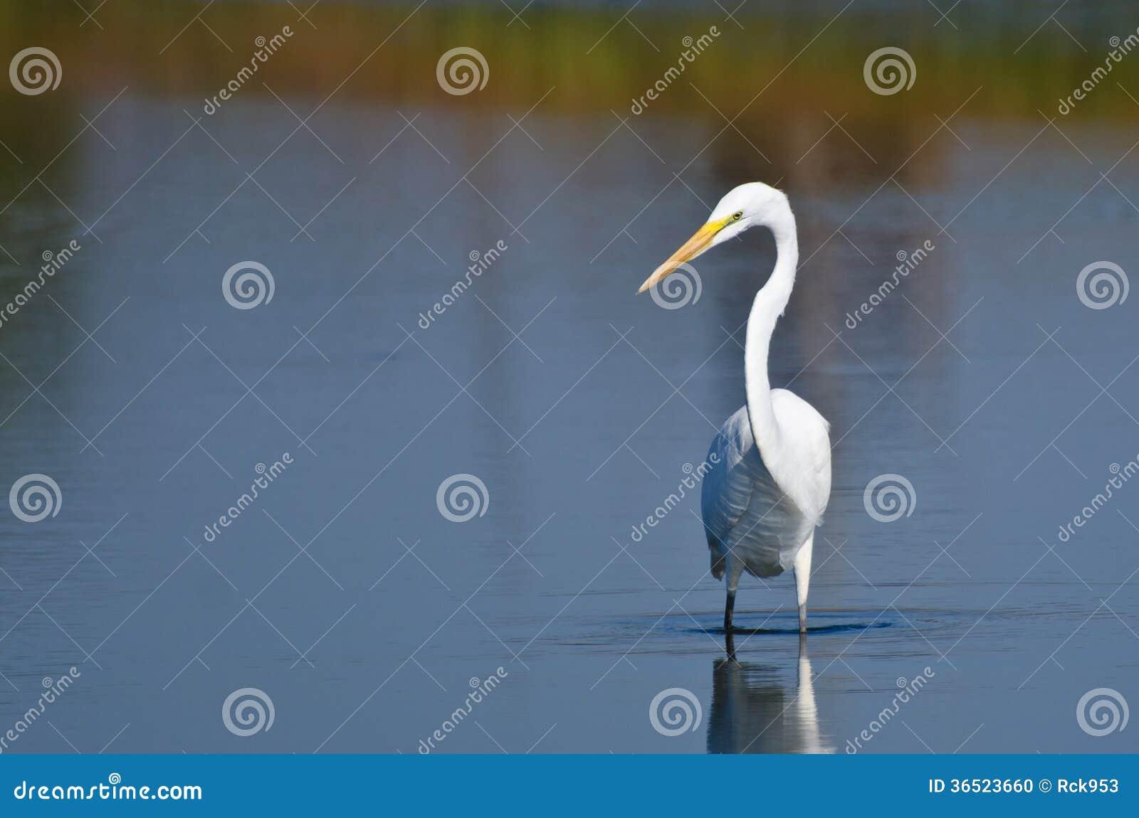 Grande caça do Egret para peixes