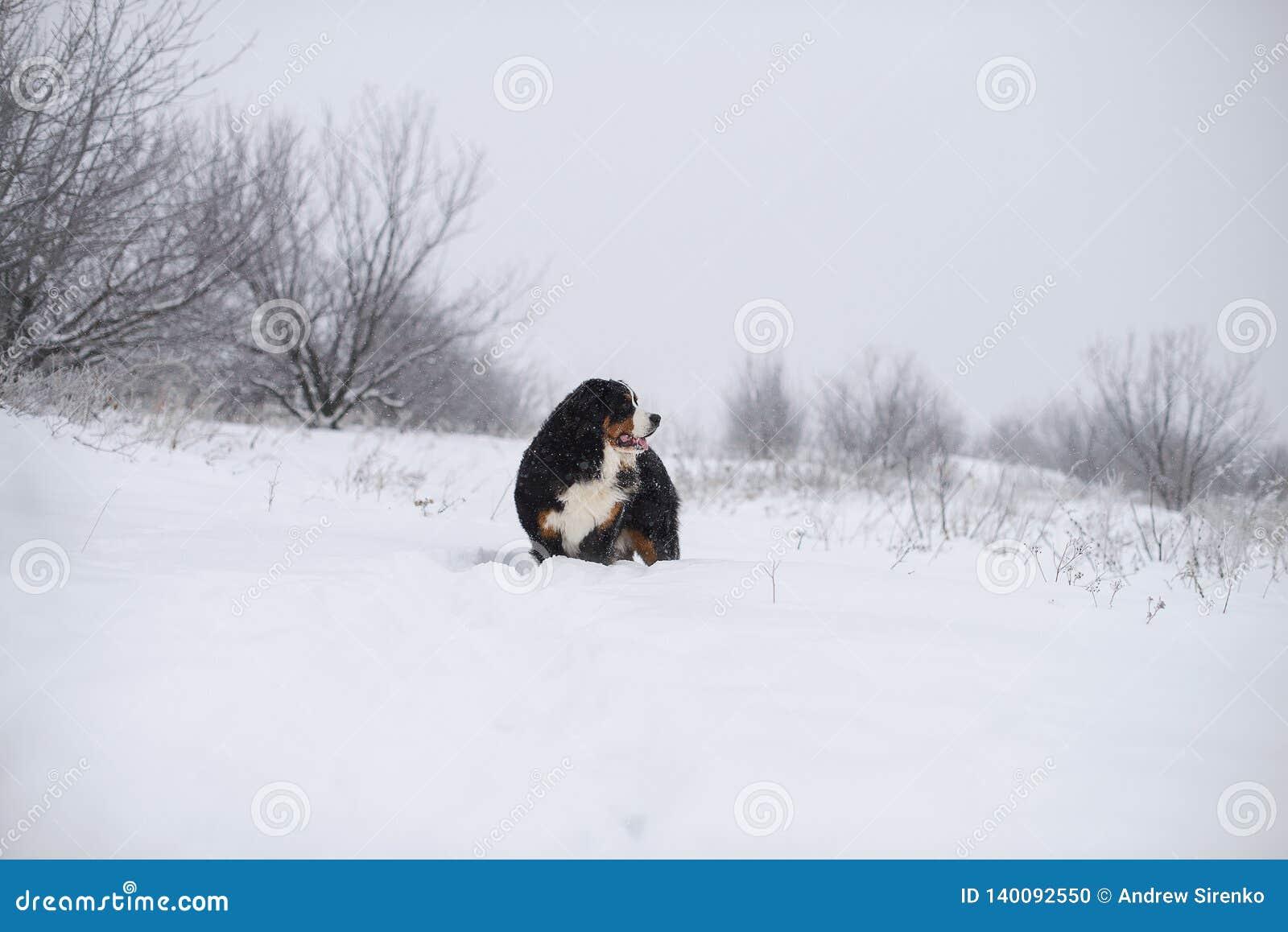 Grande cane di Berner Sennenhund sulla passeggiata nel paesaggio di inverno