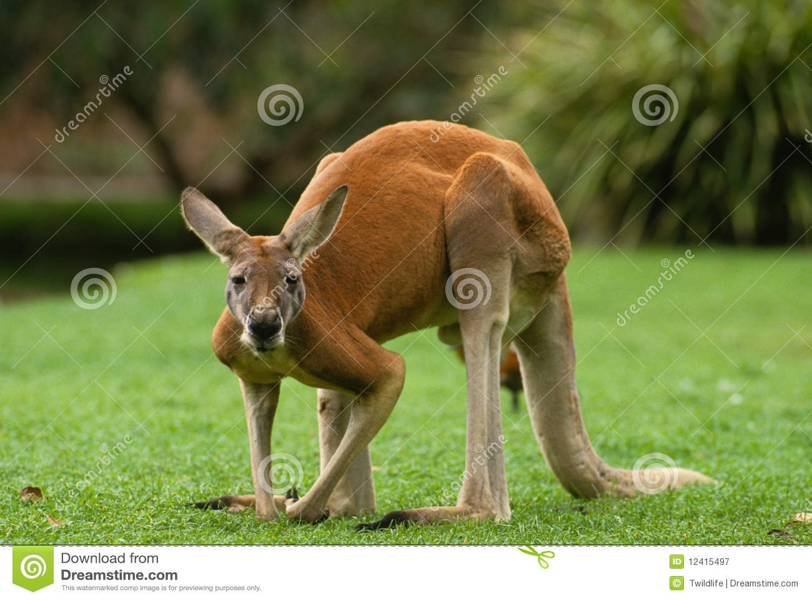 Grande canguro maschio