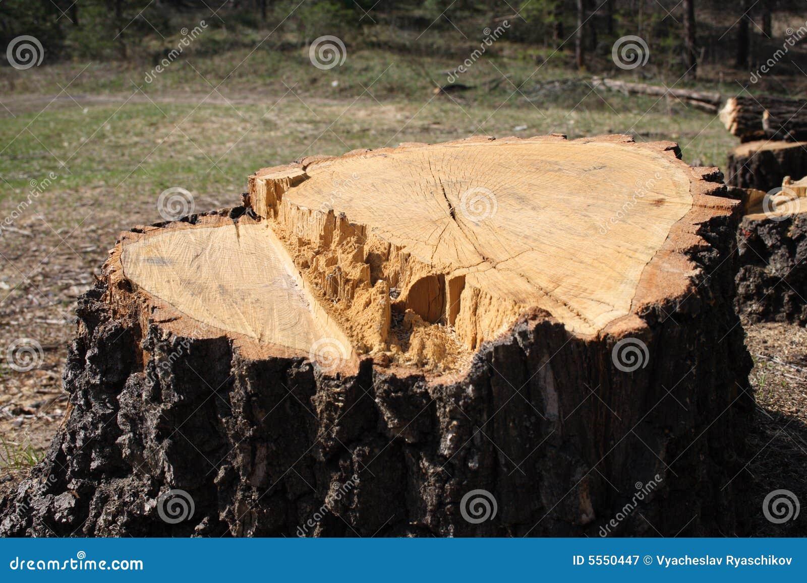 Grande ceppo di albero
