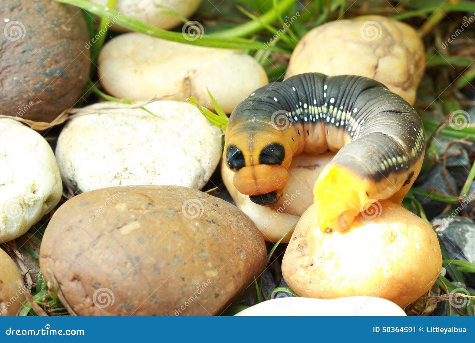 Grande chenille jaune et noire dans le jardin photo stock image 50364591 - Chenille jaune et noire danger ...