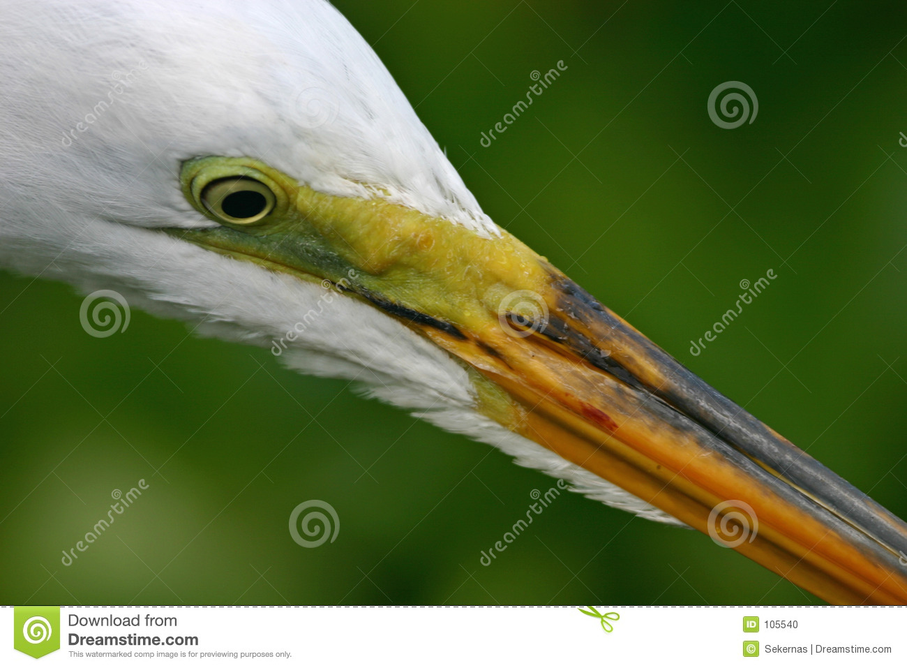 Grande close up do egret
