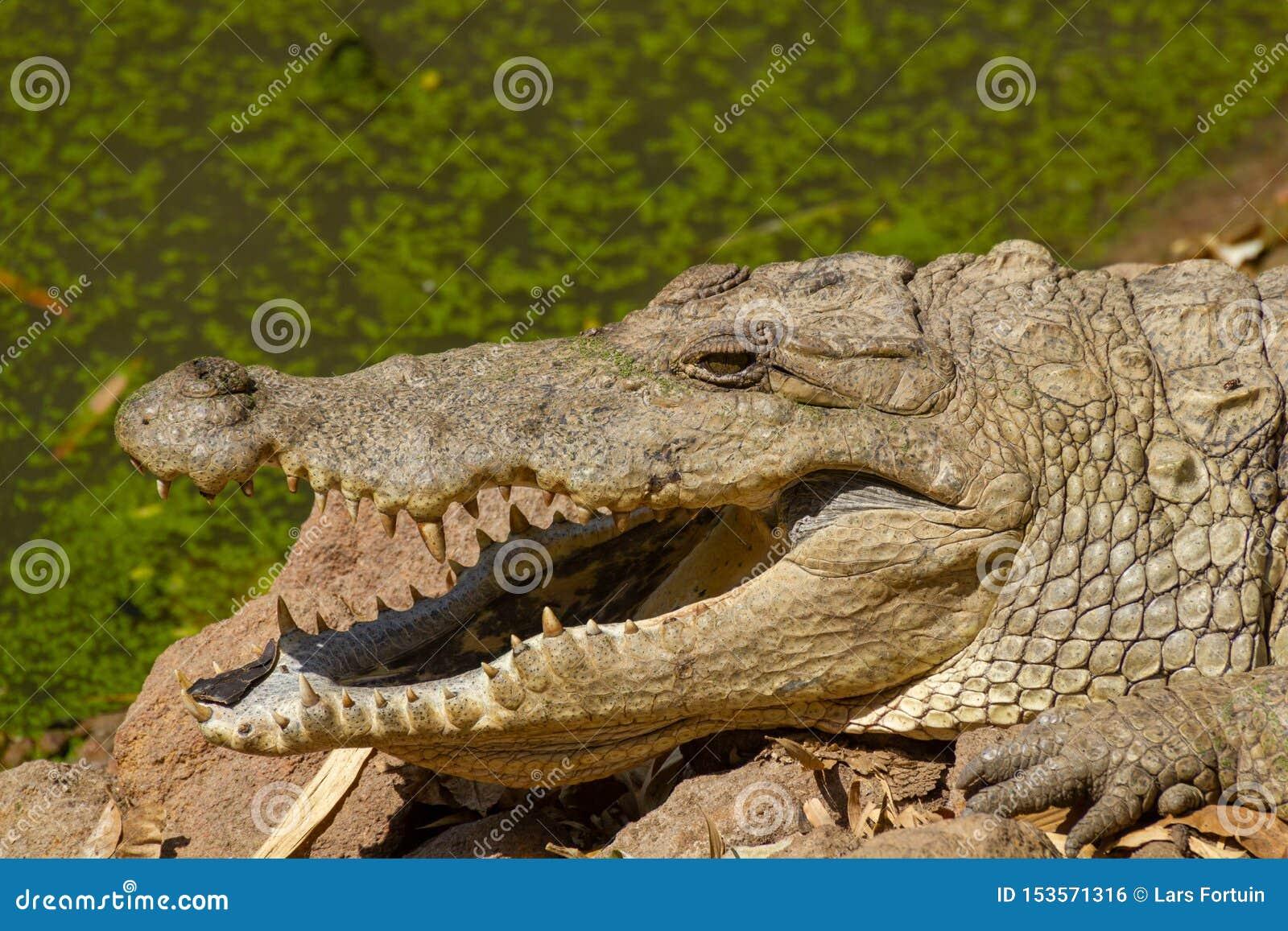 Grande coccodrillo al sole