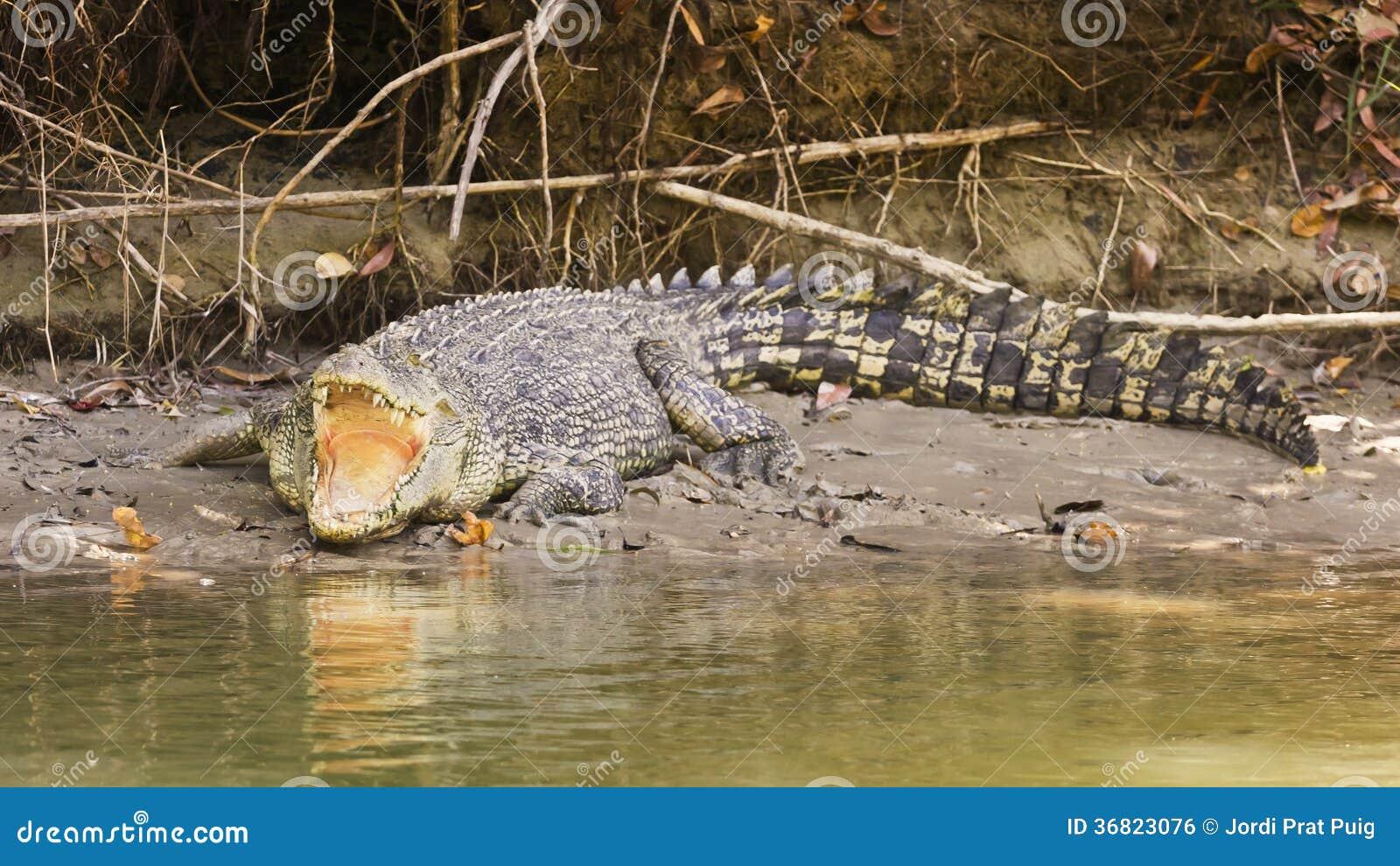 Grande coccodrillo dell acqua salata