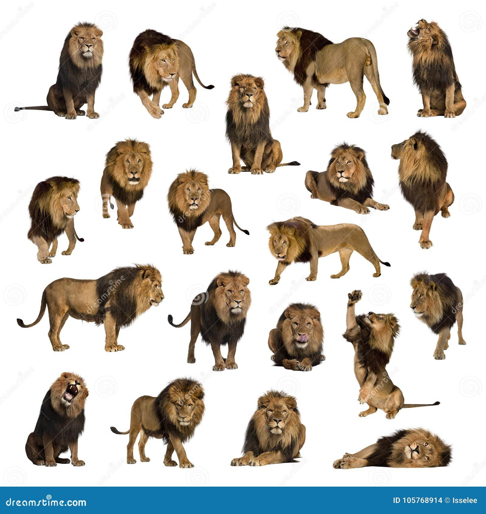 Grande coleção do leão adulto isolada no fundo branco