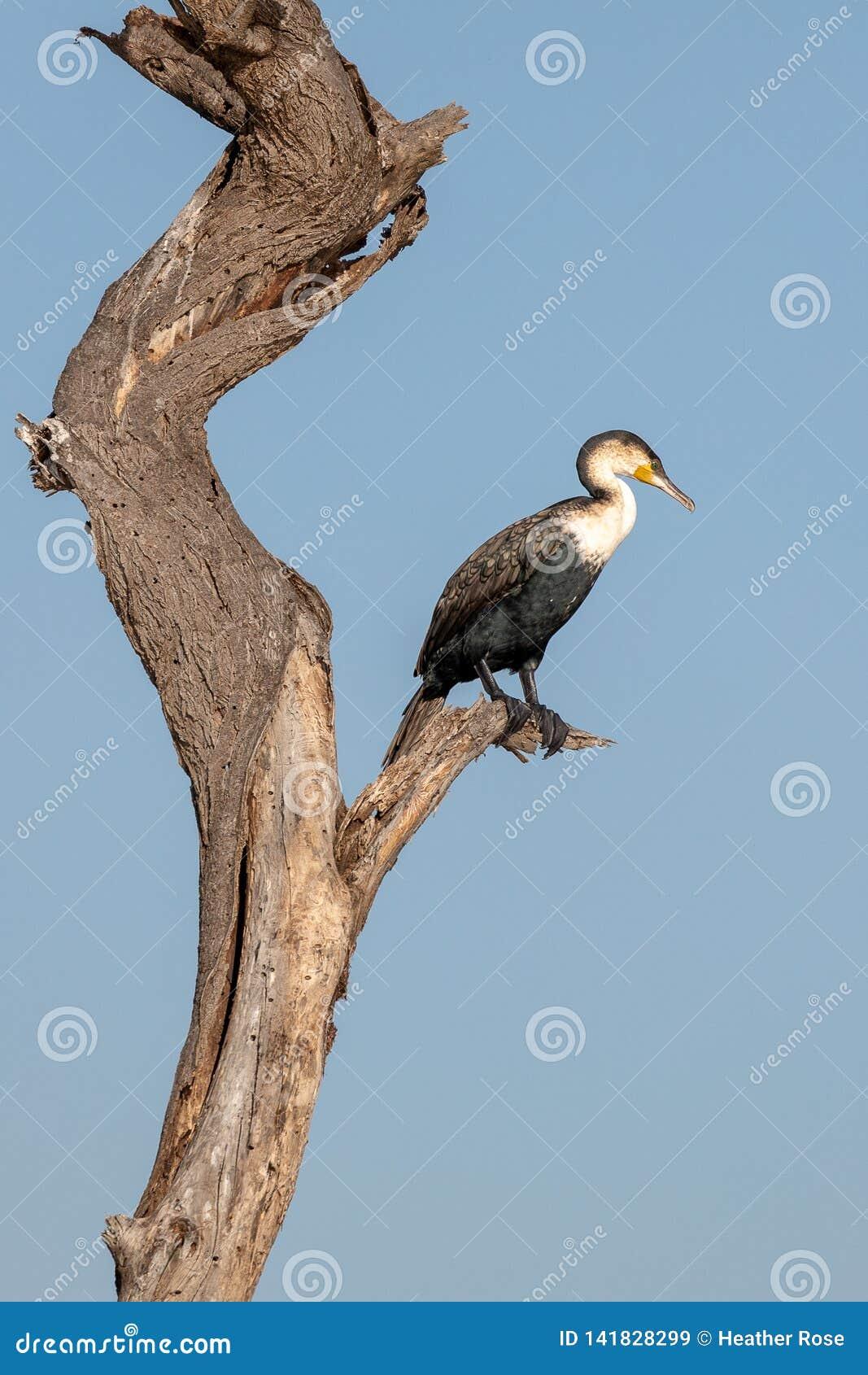 Grande Cormorant a coda lunga, Kenya, Africa
