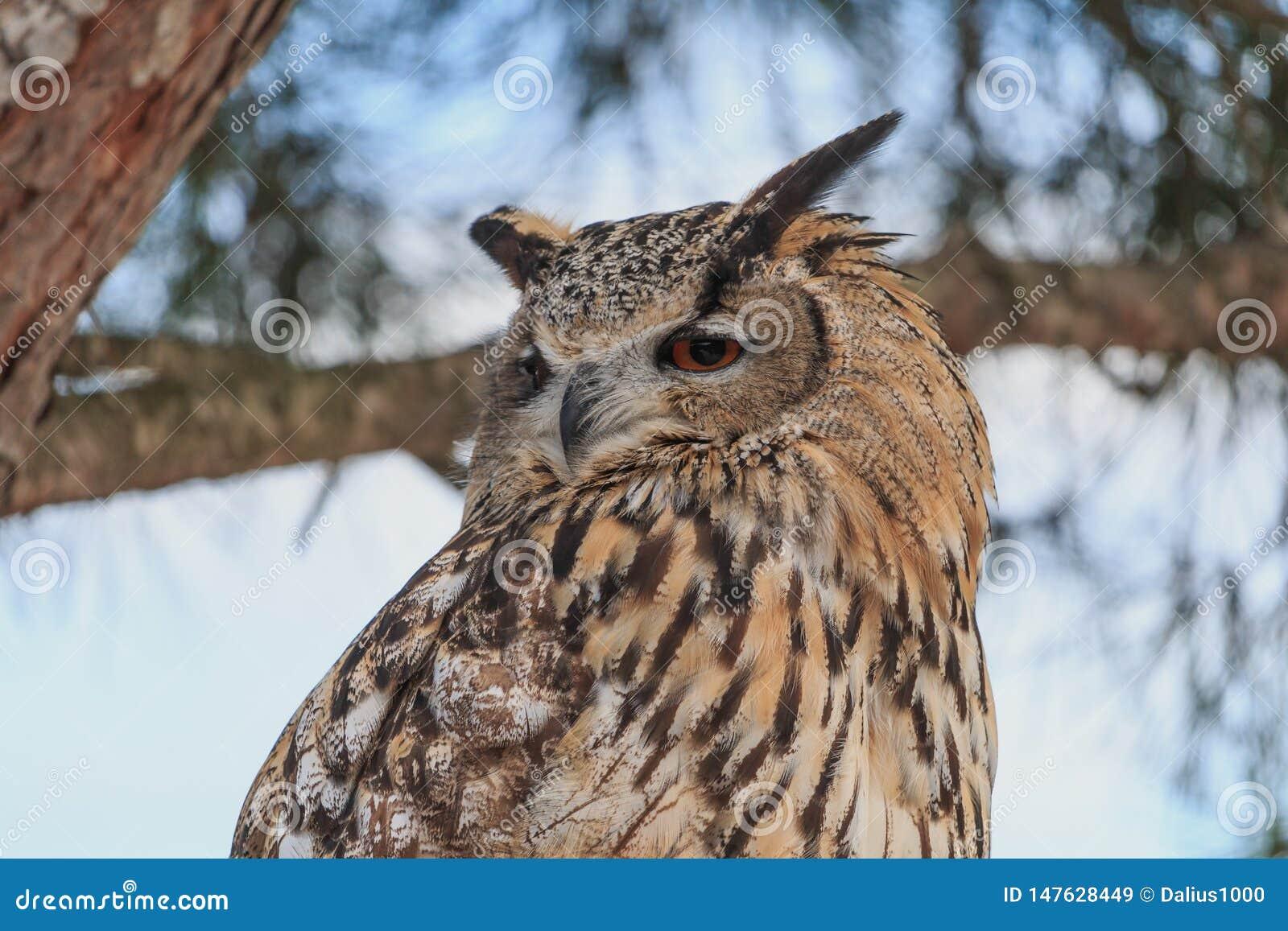 Grande coruja horned que senta-se no close up do pinheiro