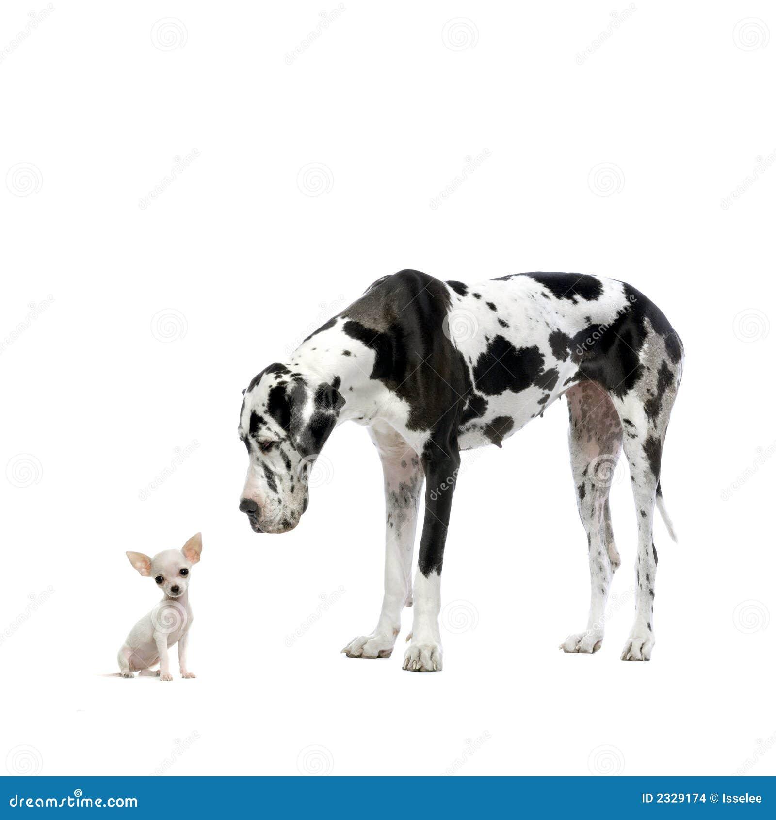 Grande danese e chihuahua