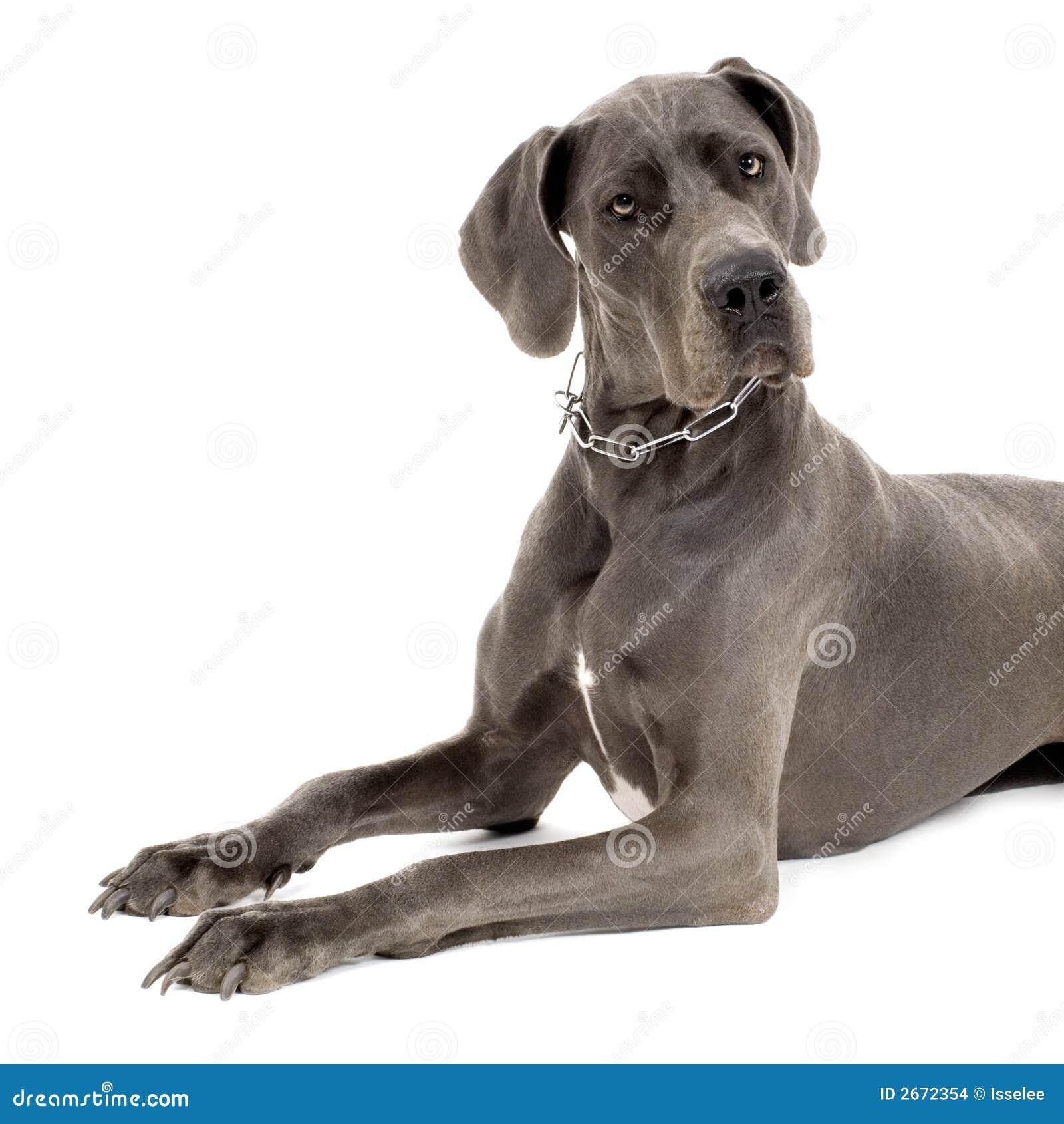 Grande danese grigio