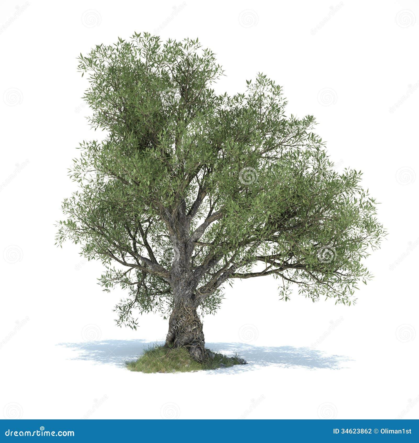 Grande di olivo 3d illustrato illustrazione di stock for Acquisto piante olivo